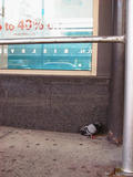 A feathered friend relaxes on Broadway, downtown...